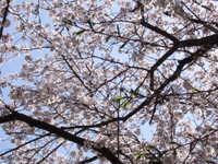 Sakura4_3